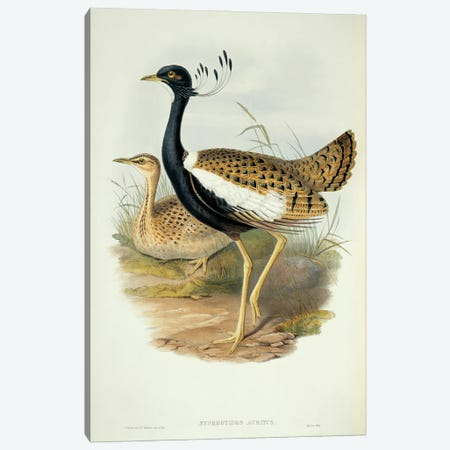 Lesser Florican Canvas Print #NHM385} by Natural History Museum (UK) Canvas Print