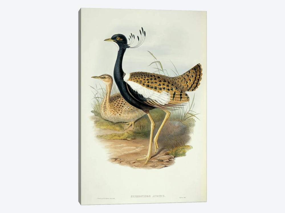 Lesser Florican by Natural History Museum (UK) 1-piece Art Print