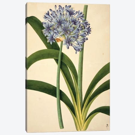 Lily Of The Nile, Plate 961 From The John Reeves Collection Of Botanical Drawings From Canton, China Canvas Print #NHM386} by Natural History Museum (UK) Art Print