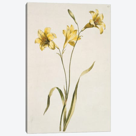 Lily, Folio 72 From A Collection Of Flowers (1795) By John Edwards Canvas Print #NHM387} by Natural History Museum (UK) Canvas Art Print
