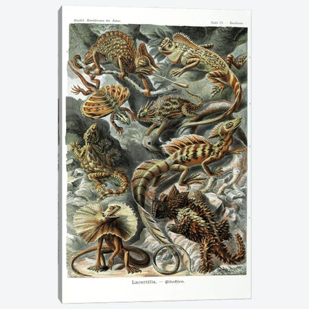 Lizards, Coloured Lithograph By Ernst Haeckel From Kunstformen Der Natur, 1899-1904 Canvas Print #NHM389} by Natural History Museum (UK) Canvas Wall Art