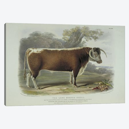 Long-Horned Cattle, 19Th Century By William Nicholson Canvas Print #NHM392} by Natural History Museum (UK) Canvas Print