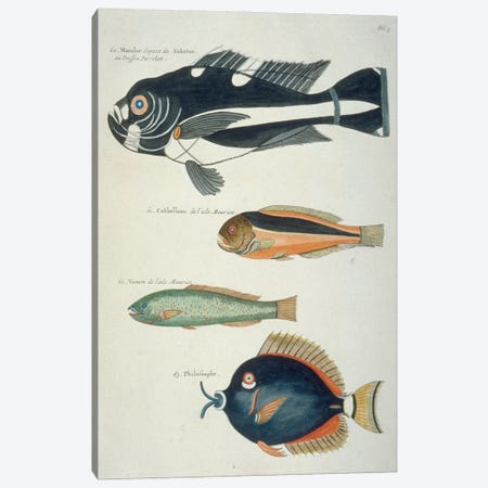 Macolor, Kakatoe, Voorn Canvas Print #NHM398} by Natural History Museum (UK) Canvas Print