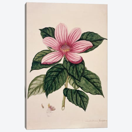 Magnolia From The Fleming Indian Drawings Collection Canvas Print #NHM402} by Natural History Museum (UK) Art Print