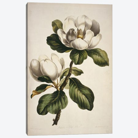 Magnolia, Folio 43 From A Collection Of Flowers (1795) By John Edwards Canvas Print #NHM403} by Natural History Museum (UK) Art Print