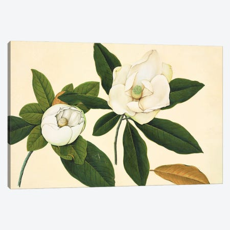Magnolia, Plate 23 From The John Reeves Collection Of Botanical Drawings From Canton, China. Canvas Print #NHM404} by Natural History Museum (UK) Canvas Art