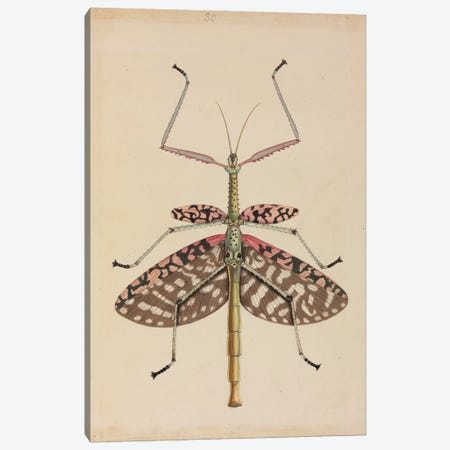 Mantis, Illustration From The Thomas Hardwicke Collection; 1819 Canvas Print #NHM410} by Natural History Museum (UK) Canvas Art