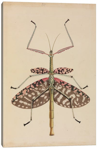 Mantis, Illustration From The Thomas Hardwicke Collection; 1819 Canvas Art Print