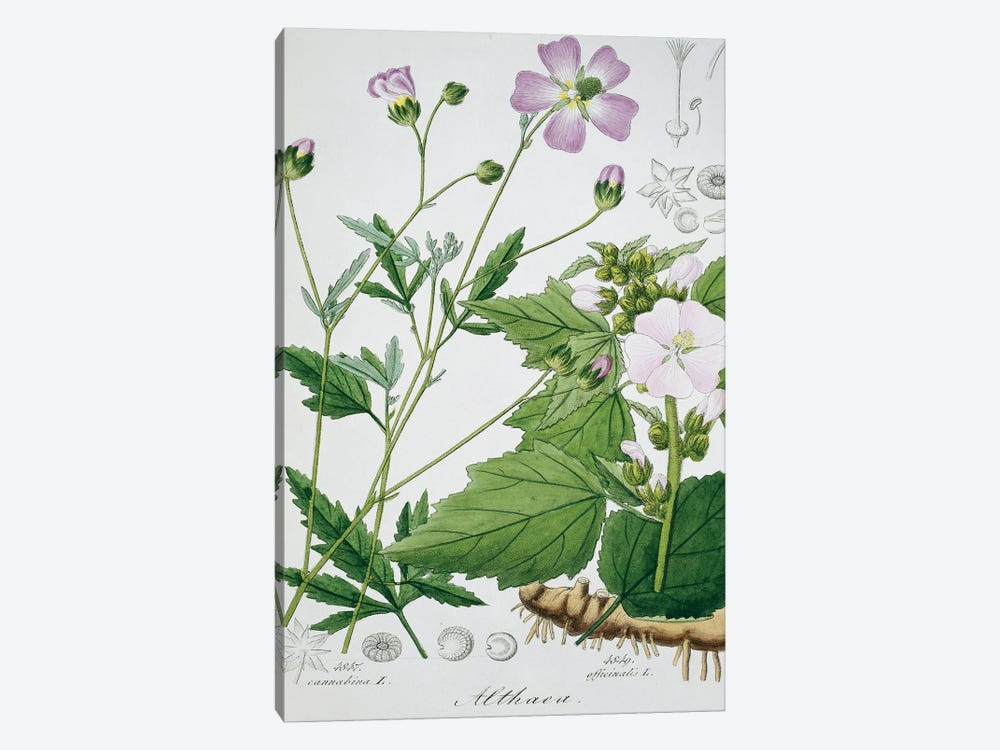 Marsh Mallow Plant. Plate 173 From Icones Florae Germanicae Helveticae Volume 5, 1844 By Ludvico Reichenbach by Natural History Museum (UK) 1-piece Canvas Wall Art