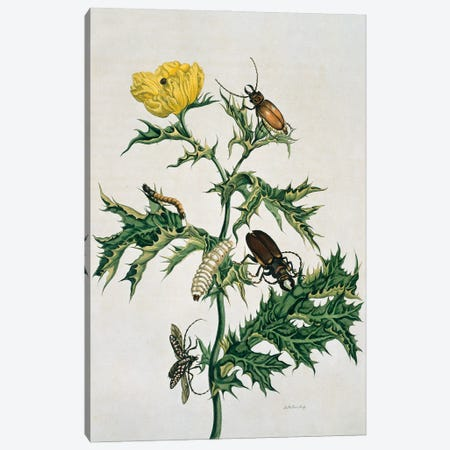 Mexican Prickly Poppy A Longhorned Beetle And An Elateridae Beetle Larva By Maria Sibylla Merian Canvas Print #NHM417} by Natural History Museum (UK) Canvas Print