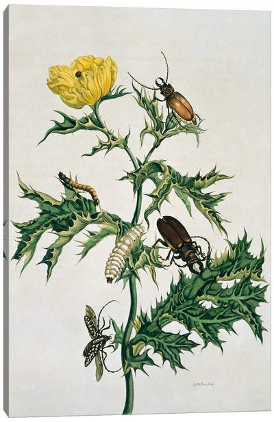 Mexican Prickly Poppy A Longhorned Beetle And An Elateridae Beetle Larva By Maria Sibylla Merian Canvas Art Print