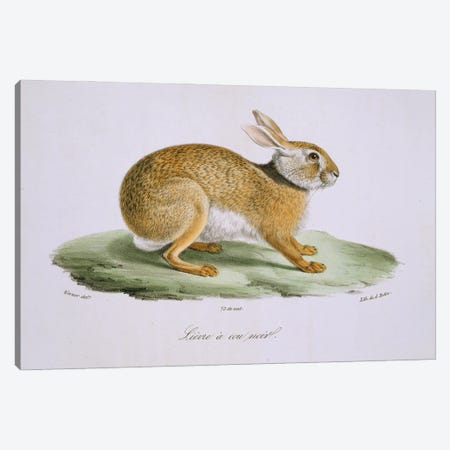 Mountain Cottontail Canvas Print #NHM423} by Natural History Museum (UK) Canvas Art Print
