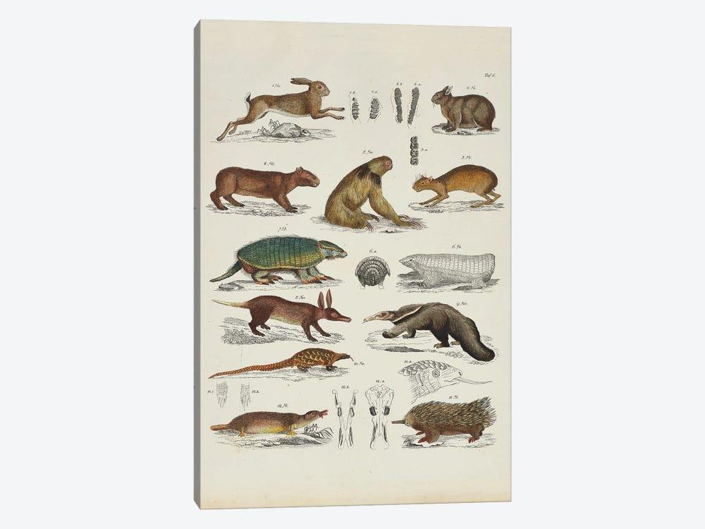 Nager Und Zahnlose - Rodents by Natural History Museum (UK) 1-piece Art Print