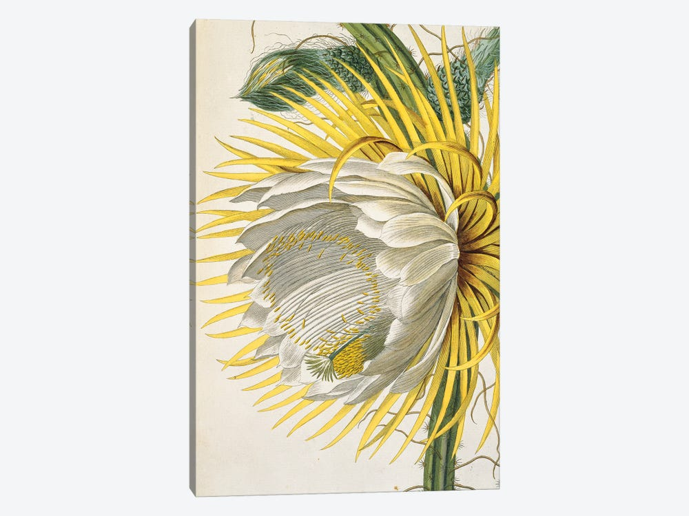 Night Blooming Cactus, Sketch 31 From A Collection Of Original Drawings And Sketches By Georg Dionysius Ehret (1708-1770) by Natural History Museum (UK) 1-piece Canvas Print