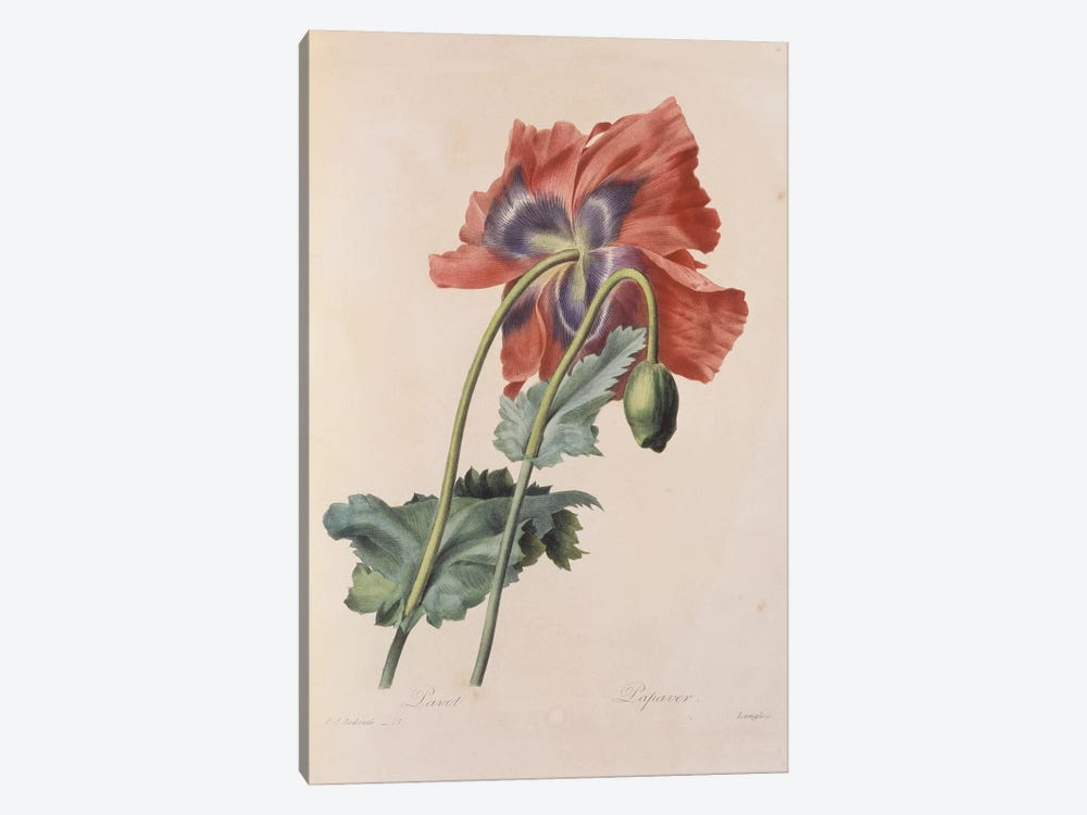 Opium Poppy By Pierre Joseph Redoute by Natural History Museum (UK) 1-piece Canvas Artwork