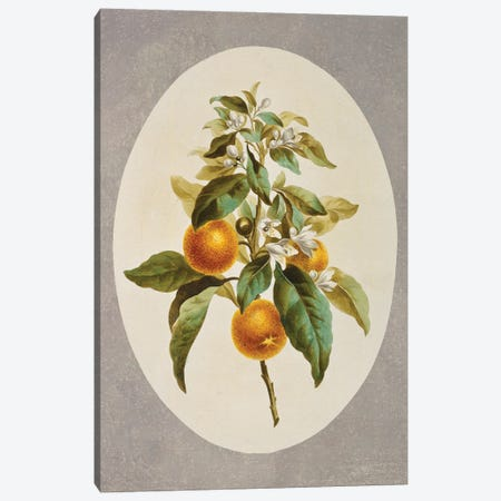 Orange Tree, Folio 34 From A Collection Of Flowers (1795) By John Edwards Canvas Print #NHM456} by Natural History Museum (UK) Canvas Print