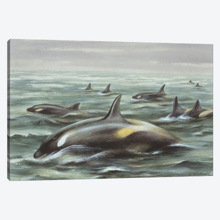 Orcinus Orca Gladiator, Orca Gladiator, Plate From A Collection Of Pencil Sketches And Watercolour Drawings Of British Mammals Canvas Print #NHM457} by Natural History Museum (UK) Canvas Print