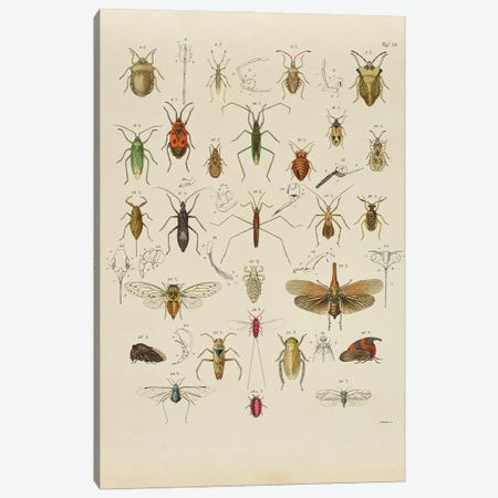 Orthoptera Canvas Print #NHM458} by Natural History Museum (UK) Canvas Wall Art