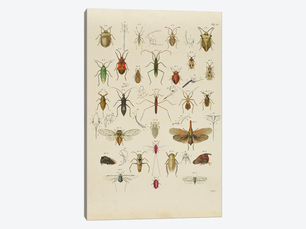 Orthoptera by Natural History Museum (UK) 1-piece Canvas Artwork