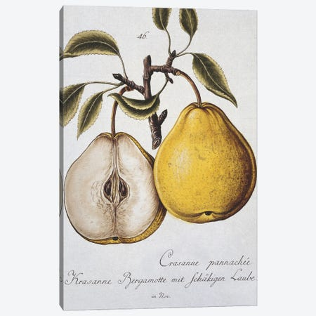 Pear, Pears Plate 35 From Pomona Franconica, Vol 3 (1801) By Johann Mayer Of Wurzburg. Entitled Crassanne Pannachee Canvas Print #NHM468} by Natural History Museum (UK) Canvas Art Print
