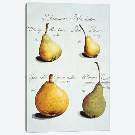 Pear, Plate 55 From Pomona Franconica, Vol 3 (1801) By Johann Mayer Of Wurzburg. Entitled Blanquets Canvas Print #NHM469} by Natural History Museum (UK) Canvas Art Print