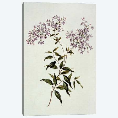 Persian Lilac, Folio 53 From A Collection Of Flowers (1795) By John Edwards Canvas Print #NHM480} by Natural History Museum (UK) Art Print
