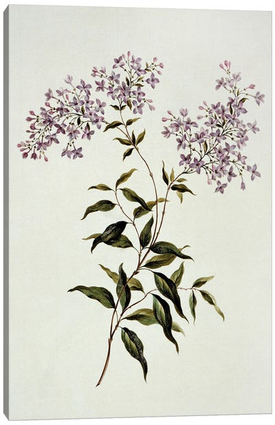 Persian Lilac, Folio 53 From A Collection Of Flowers (1795) By John Edwards Canvas Art Print