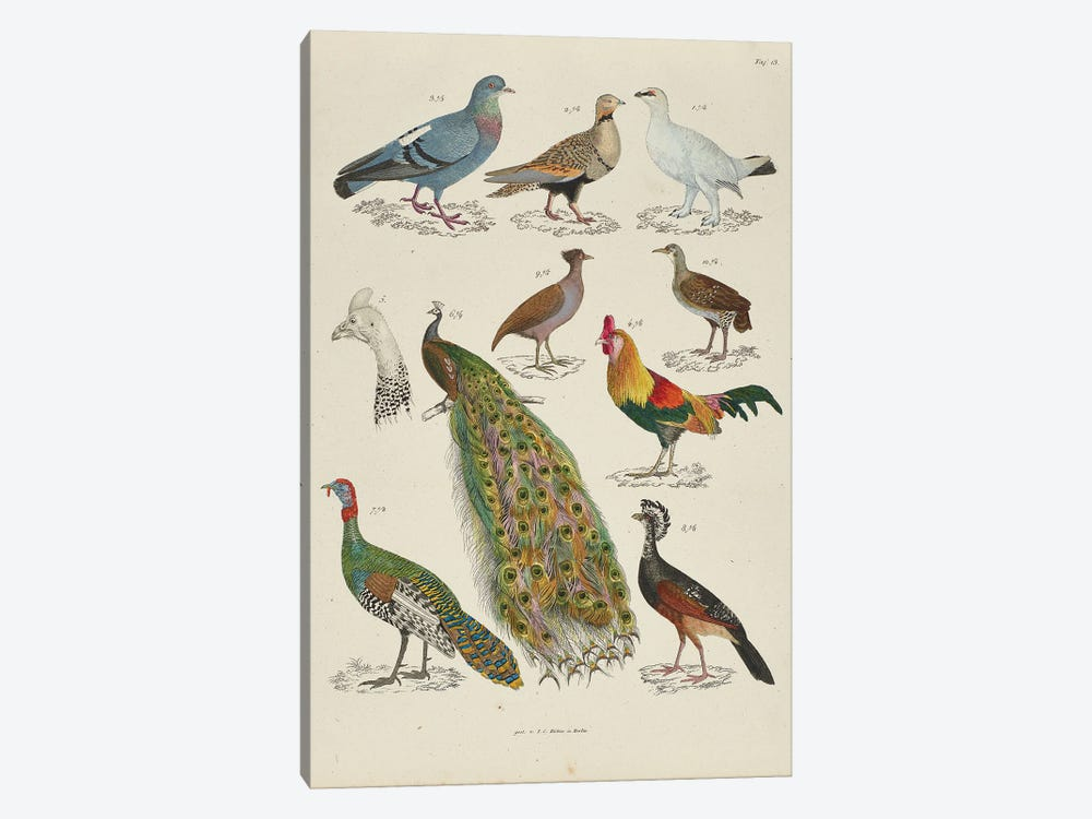 Pigeons, Chickens by Natural History Museum (UK) 1-piece Canvas Wall Art