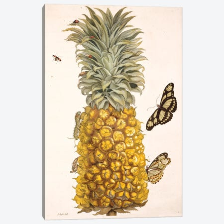 Pineapple With Insects, Plate 2 From Metamorphosis Insectorum Surinamensium By Maria Sybilla Merian. Canvas Print #NHM482} by Natural History Museum (UK) Canvas Art Print