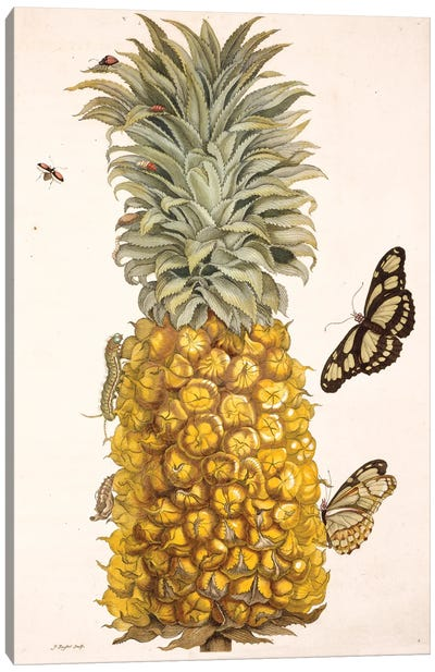 Pineapple With Insects, Plate 2 From Metamorphosis Insectorum Surinamensium By Maria Sybilla Merian. Canvas Art Print