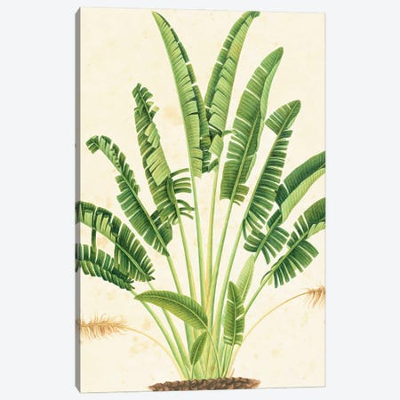 Plant Illustration. Plate 916 From The John Reeves Collection Of Botanical Drawings From Canton, China. Canvas Print #NHM485} by Natural History Museum (UK) Canvas Wall Art