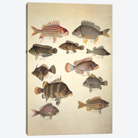 Plate 122 From The John Reeves Collection Canvas Print #NHM488} by Natural History Museum (UK) Canvas Art Print