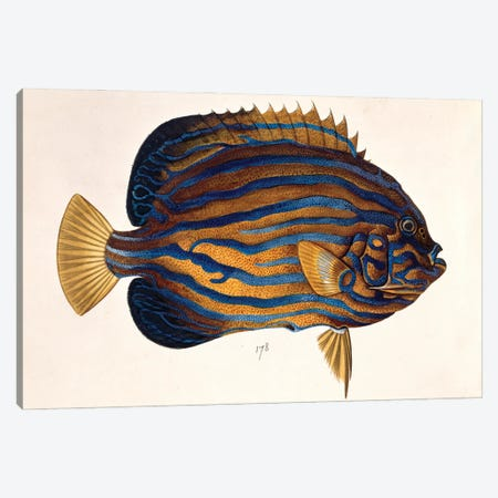 Plate 134 From The John Reeves Collection Canvas Print #NHM492} by Natural History Museum (UK) Canvas Wall Art