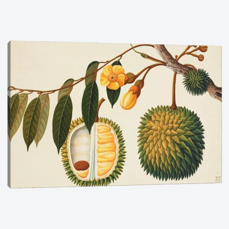 Plate 136 From The John Reeves Collection Of Botanical Drawings From Canton, China. Canvas Print #NHM493} by Natural History Museum (UK) Canvas Wall Art