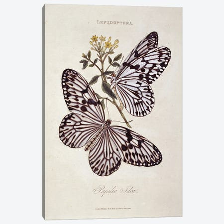 Plate 24, An Illustration Of A Pair Of Idea Tree Nymphs From Insects Of India By Edward Donovan (1768-1837) Canvas Print #NHM509} by Natural History Museum (UK) Canvas Artwork
