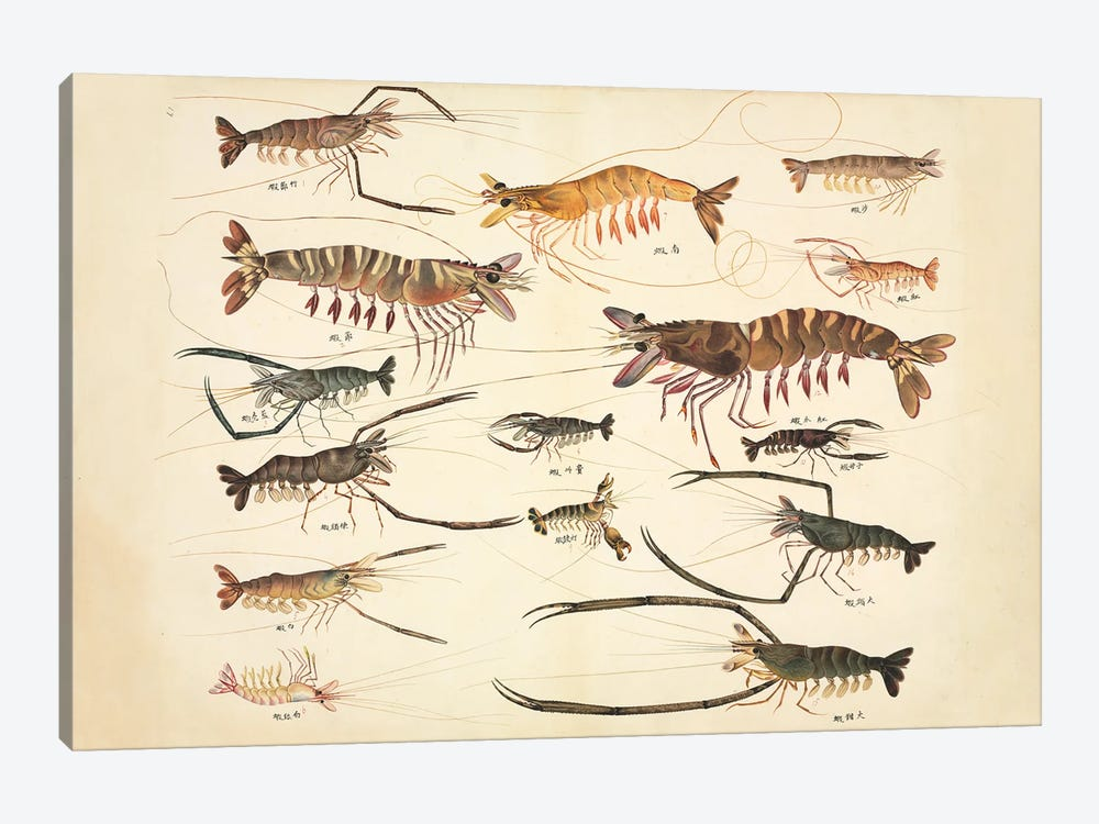 Plate 90 From The John Reeves Collection by Natural History Museum (UK) 1-piece Canvas Artwork