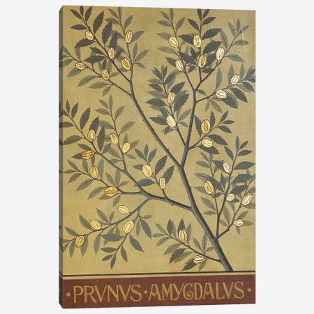 Prunus Amygdalus Canvas Print #NHM548} by Natural History Museum (UK) Canvas Wall Art