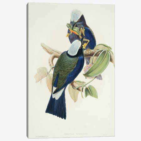 Purple-Winged Roller Canvas Print #NHM552} by Natural History Museum (UK) Canvas Print