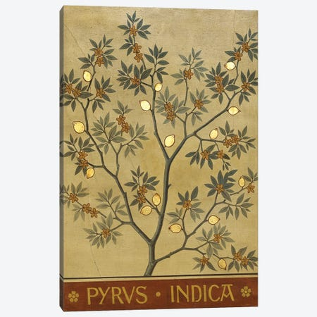 Pyrus Indica Canvas Print #NHM555} by Natural History Museum (UK) Canvas Wall Art