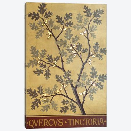Quercus Tinctoria Canvas Print #NHM558} by Natural History Museum (UK) Canvas Print