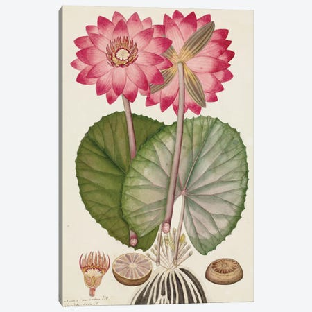 Red Indian Water Lily From The Fleming Indian Drawings Collection Canvas Print #NHM565} by Natural History Museum (UK) Art Print