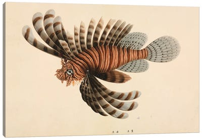 Red Lionfish, Plate 112 From The John Reeves Collection Canvas Art Print