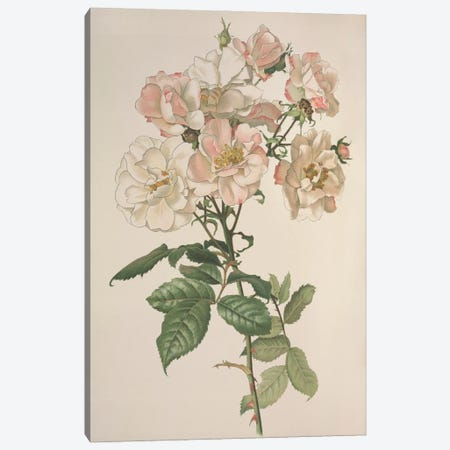 Rose, Illustration From The Botany Library Plate Collection Held At The Natural History Museum, London Canvas Print #NHM581} by Natural History Museum (UK) Canvas Art