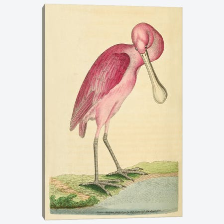 Rose-Coloured Spoon-Bil, Plate 90 George Shaw And Frederick Nodder_1791-1792 Canvas Print #NHM583} by Natural History Museum (UK) Canvas Artwork
