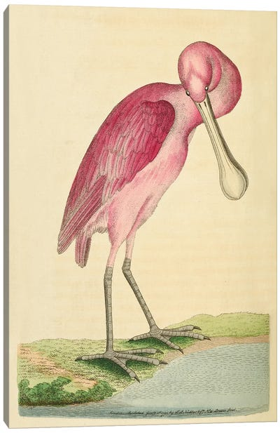 Rose-Coloured Spoon-Bil, Plate 90 George Shaw And Frederick Nodder_1791-1792 Canvas Art Print