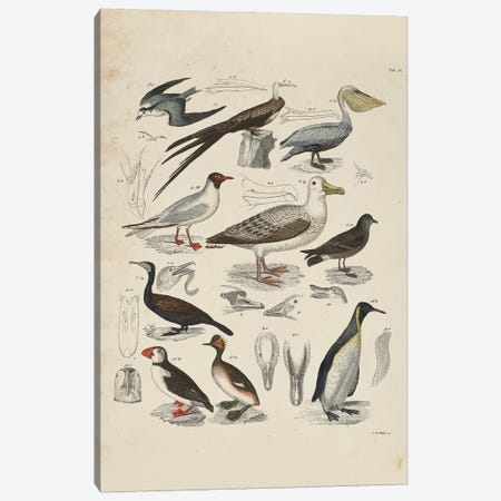 Schwimmvogel - Waterfowl Canvas Print #NHM595} by Natural History Museum (UK) Canvas Artwork