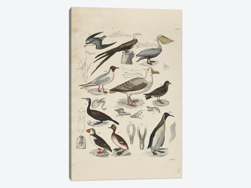 Schwimmvogel - Waterfowl by Natural History Museum (UK) 1-piece Canvas Wall Art