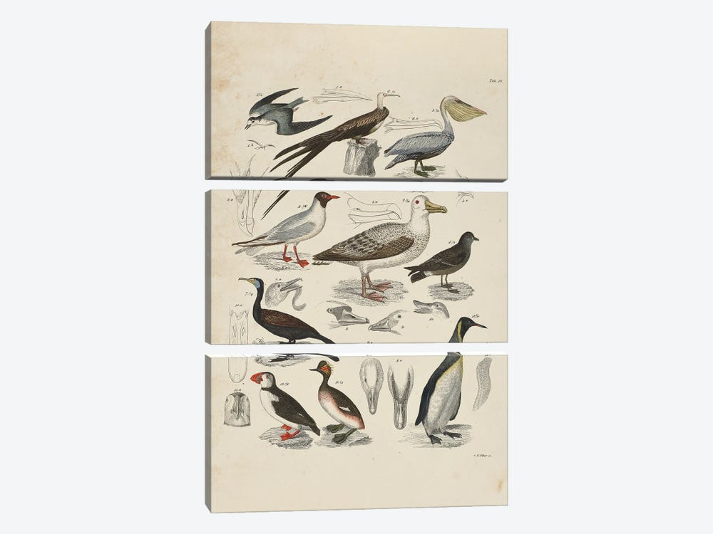 Schwimmvogel - Waterfowl by Natural History Museum (UK) 3-piece Canvas Art