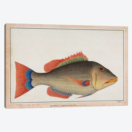 Snapper Of Norfolk Island. Canvas Print #NHM615} by Natural History Museum (UK) Canvas Art Print