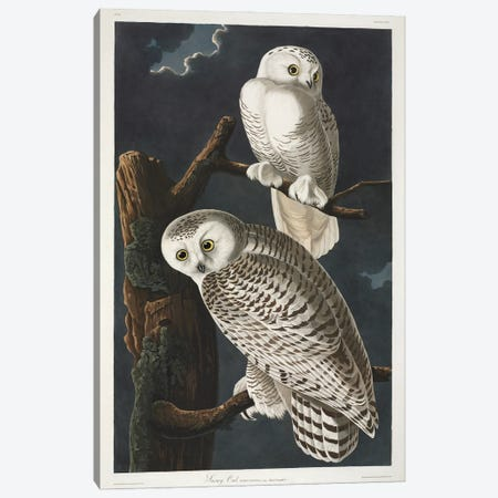 Snowy Owl Canvas Print #NHM616} by Natural History Museum (UK) Canvas Art Print